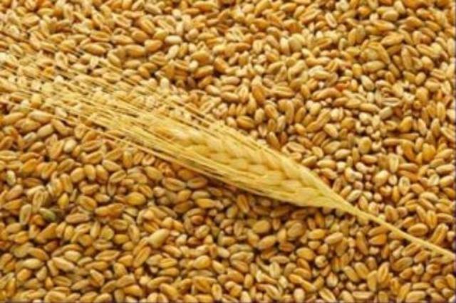 №2175 Покупаем все зерновые оптом.