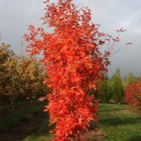 №13569 Деревья крупномерные для дизайна – недорого и качественно