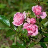 Rizactive Rose — розовый экстракт на рисовом молочке