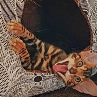 Бенгальские котята для души и в разведение.